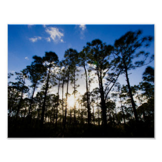 Pine trees, Oxbow Eco-centre, Fort Pierce, Florida Poster