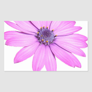 Pink Afrıcan Daisy With Transparent Background