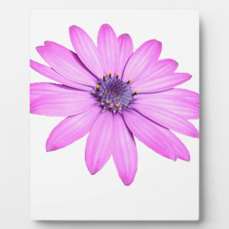 Pink Afrıcan Daisy With Transparent Background Plaque