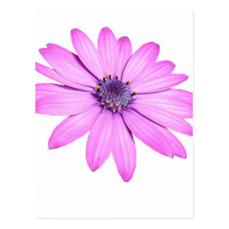 Pink Afrıcan Daisy With Transparent Background Postcard