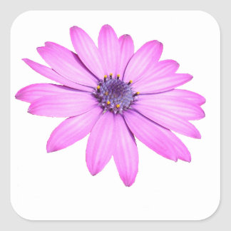 Pink Afrıcan Daisy With Transparent Background Square Sticker