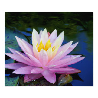 Pink and cream water lilly photo print