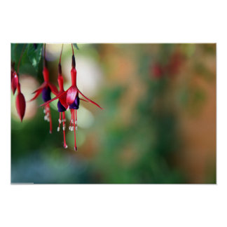 pink and purple Fuchsia flowers Poster