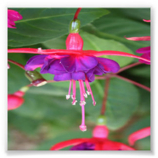Pink and Purple Fuschia Flowers Photo Art