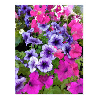 Pink and Purple Petunia Blossom Postcard