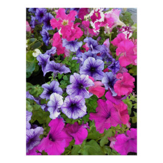 Pink and Purple Petunia Blossom Poster