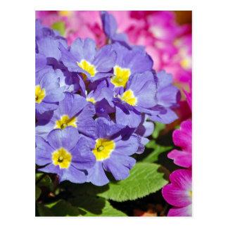 Pink and purple primroses postcard