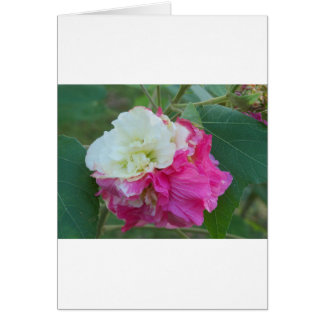 pink and white changeable hibiscus bloom card