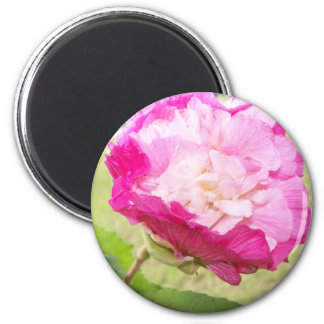 pink and white changeable hibiscus bloom magnet
