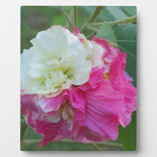 pink and white changeable hibiscus bloom plaque