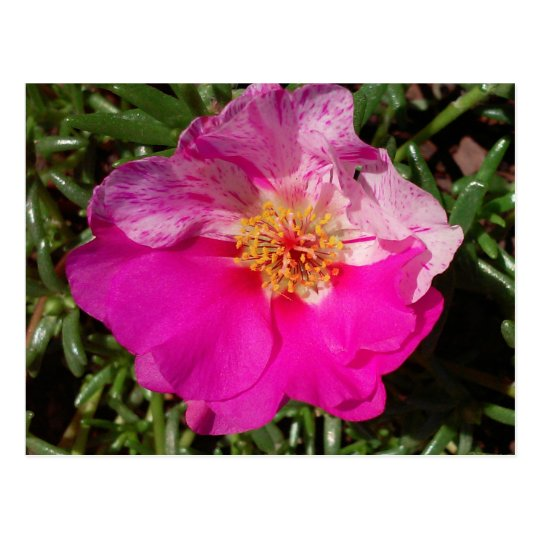 Pink and White Moss Rose Postcard