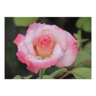 Pink and White Rose After the Rain Poster