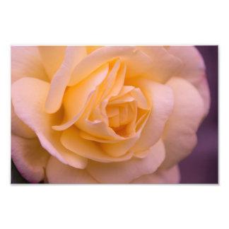 Pink And Yellow Rose Closeup Art Photo