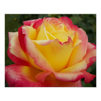 Pink and Yellow Rose Floral Poster