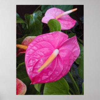 Pink Anthuriums Poster
