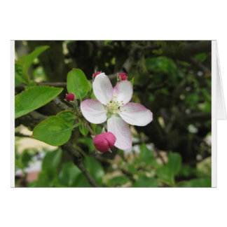 Pink apple flower in spring . Tuscany, Italy Card