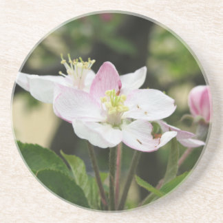 Pink apple flower in spring . Tuscany, Italy Coaster