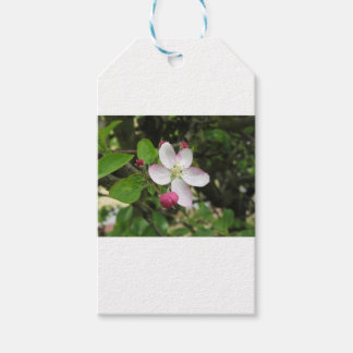 Pink apple flower in spring . Tuscany, Italy Gift Tags