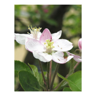 Pink apple flower in spring . Tuscany, Italy Letterhead