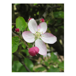 Pink apple flower in spring . Tuscany, Italy Postcard