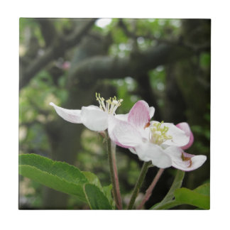 Pink apple flower in spring . Tuscany, Italy Tile