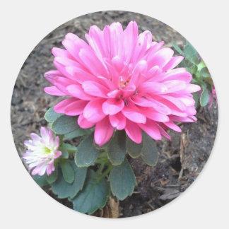 Pink Aster Flowers Round Sticker