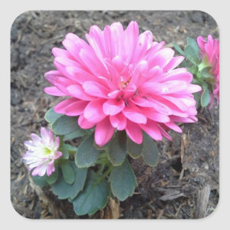 Pink Aster Flowers Square Sticker