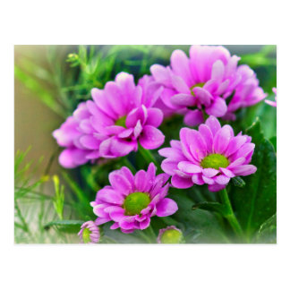 Pink asters postcard