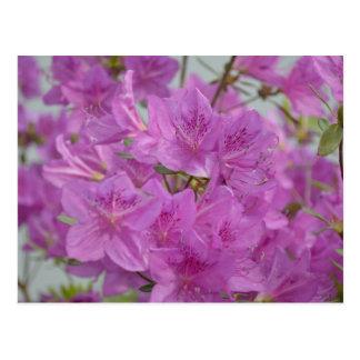 Pink Azalea In Bloom Postcard