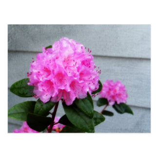 Pink Azalea Postcard
