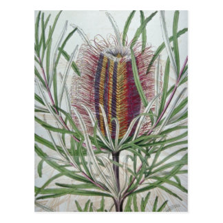 Pink Banksia occidentalis flowers Postcard