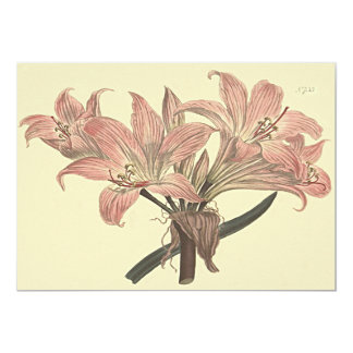 Pink Belladonna Lily Botanical Illustration Card
