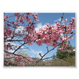 Pink Bloosoms Against The Spring Sky Photographic Print