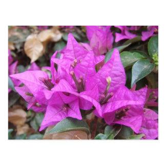 Pink Bougainvillea Flowers Postcard
