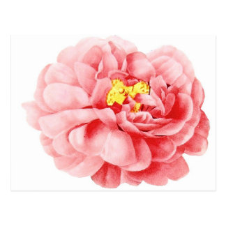 Pink Cabbage Rose Flower Shabby Cottage Postcard