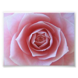 Pink Camellia Photo Print