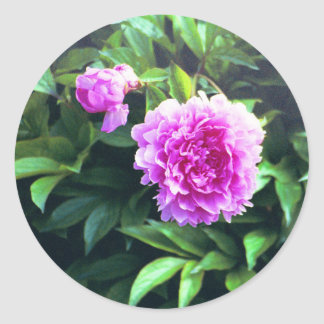 Pink Carnation Rose Bud & Bloom Classic Round Sticker