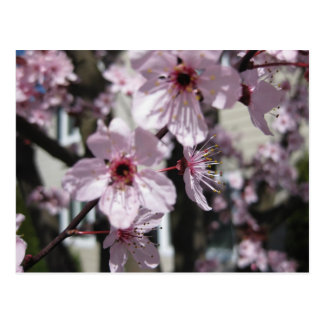 Pink Cherry Blossom Flowering Tree Post Card
