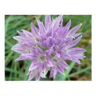 Pink Chive Flowers Allium Schoenoprasum Postcard
