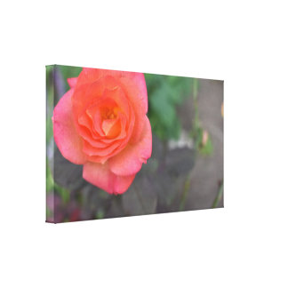 Pink Coral Rose Nature Photography Flower Plant Canvas Print