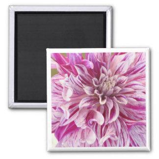 Pink Dahlia Blossom Square Magnet Refrigerator Magnet