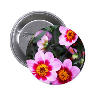 Pink dahlia flowers button