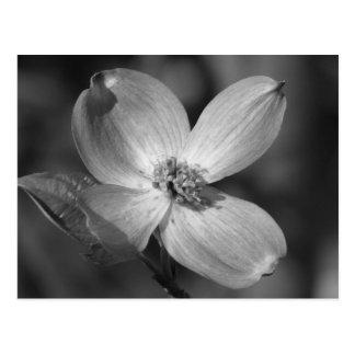 Pink Dogwood Bloom Postcard