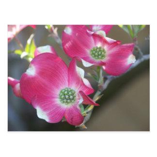 Pink Dogwood Postcard