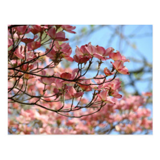 Pink Dogwood Tree Flowers Post card Flowering Tree