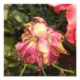 Pink Drying Rose Photo Print
