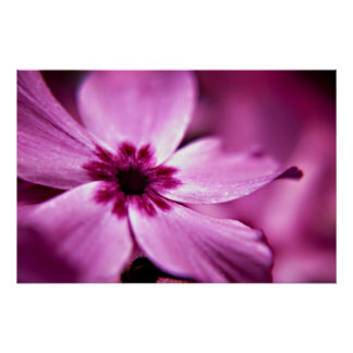Pink Dwarf Phlox flower print