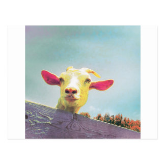 Pink-eared goat postcard