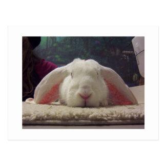 Pink Eared Rabbit Postcard