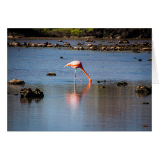 Pink Flamingo in Galapagos Islands Card
